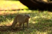The Banded Mongoose (mungos Mungo) Running On The Green Grass In The Trees Shade. South African Smal poster