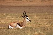 The Young Impala (aepyceros Melampus) Male Staying In The Rad Dry Sand Of Kalahari Desert. Dry Sand  poster