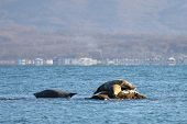 Seals (spotted Seal, Largha Seal, Phoca Largha) Laying On The Rocky Reef In Sea Water In Autumn Suns poster