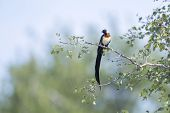 Eastern Paradise-whydah Perched On A Branch In Kruger National Park, South Africa ; Specie Vidua Par poster