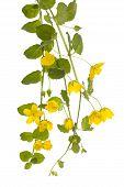 image of meadowsweet  - yellow flower  - JPG