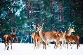 Artistic Winter Christmas Natural Image. Winter Wildlife Landscape With Noble Deers Against Winter F poster