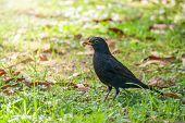 A Male Blackbird Collects Worms On A Green Lawn. Common Blackbird, Turdus Merula. Bird With Beak Ful poster