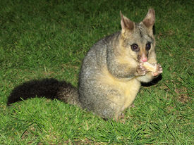 stock photo of possum  - A possum in Hyde park - JPG