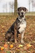 foto of catahoula  - Louisiana Catahoula dog with small pumpkins in Autumn - JPG