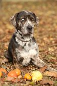 image of catahoula  - Nice Louisiana Catahoula dog lying with small pumpkins in Autumn - JPG