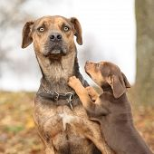 stock photo of catahoula  - Nice brown Louisiana Catahoula dog scared of parenting