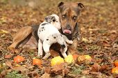 image of catahoula  - Nice brown Louisiana Catahoula dog playing with puppy