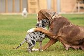 stock photo of catahoula  - Louisiana Catahoula bitch playing with puppy on the grass