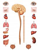 stock photo of marrow  - parasympathetic nervous system - JPG