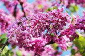 stock photo of judas tree  - red flowers of judas tree on a background of blue sky - JPG