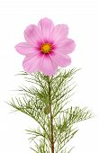 image of cosmos flowers  - Cosmos Cosmos bipinnatus flower and foliage isolated against white - JPG