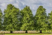 foto of linden-tree  - Beautiful old linden trees in the rural landscape - JPG