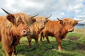 stock photo of highland-cattle  - Close up of scottish highland cow in field - JPG