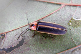 stock photo of lightning bugs  - a Big Dipper Firefly chewing on a leaf - JPG