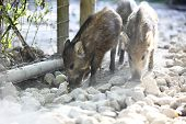 picture of wallow  - Young wild boar in a deer park - JPG