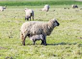 stock photo of spring lambs  - Spring pasture with flock of sheep and lambs - JPG