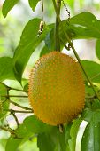 stock photo of anti-cancer  - gac friut asia fruit good nutrition for anti cancer - JPG
