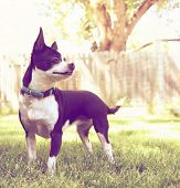stock photo of applehead  - a cute chihuahua enjoying the outdoors done with a warm instragram like filter - JPG