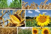 stock photo of split ends  - Collage of pictures about agriculture Corn - JPG