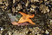 foto of echinoderms  - Orange starfish  - JPG