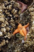 image of echinoderms  - Orange ochre starfish  - JPG