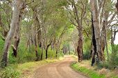 pic of eucalyptus trees  - Gravel lane through gum trees Carpenter Rd Wilyabrup Western Australia - JPG