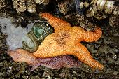 foto of echinoderms  - Orange ochre starfish  - JPG