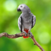 image of parrots  - Beautiful grey parrot African Grey Parrot  - JPG