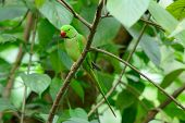 image of parakeet  - beautiful male Alexandrine Parakeet (Psittacula eupatria) in Thai forest