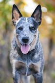stock photo of cattle dog  - Close uo portrait of beuty and funky Australian cattle dog - JPG