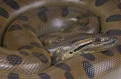 foto of anaconda  - The green anaconda is considered to be the heaviest snake species in the world and the second longest - JPG