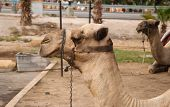 stock photo of camel  - Portrait of a camel in the background of another camel - JPG