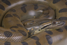 pic of green snake  - The green anaconda is considered to be the heaviest snake species in the world and the second longest - JPG