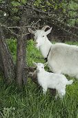 stock photo of baby goat  - Spring near the bushes stands a white goat with two young goats. ** Note: Soft Focus at 100%, best at smaller sizes - JPG