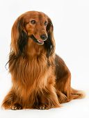 pic of dachshund dog  - Purebred brown longhaired dachshund dog isolated on white background in studio - JPG