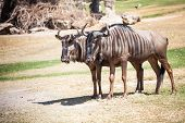 stock photo of wildebeest  - Couple of Wildebeest standing on the ground - JPG