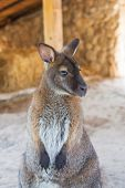 pic of wallabies  - wallaby or small kangaroo  - JPG