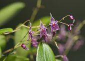 stock photo of epiphyte  - Star-Bearing Inflorescence Lepanthopsis Orchid - Lepanthopsis astrophora From coastal Venezuela and Colombia - JPG