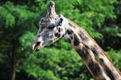 picture of zoo  - head and neck of giraffe at zoo in summer season - JPG
