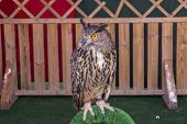 pic of eagle  - The Eurasian eagle-owl (Bubo bubo) species of eagle-owl resident in much of Eurasia ** Note: Soft Focus at 100%, best at smaller sizes - JPG
