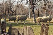 foto of herd  - Sheep herd grazing - JPG
