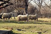 stock photo of herd  - Sheep herd grazing - JPG