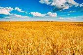 pic of ear  - Backdrop of yellow wheat ears field on the cloudy blue sky background - JPG