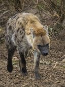 image of hyenas  - Spotted wild hyena looking for food in the nature - JPG