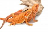picture of desert animal  - bearded dragon looking up  - JPG