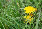 pic of weed  - Dandelion flower weed in green grass in May Sweden - JPG