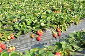 foto of strawberry plant  - strawberry plants and fruits in growth at field  - JPG