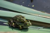 Постер, плакат: Pair of frogs during mating