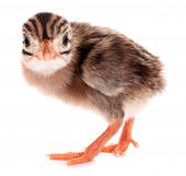 foto of guinea fowl  - Guinea fowl chick small bird isolated on white background - JPG